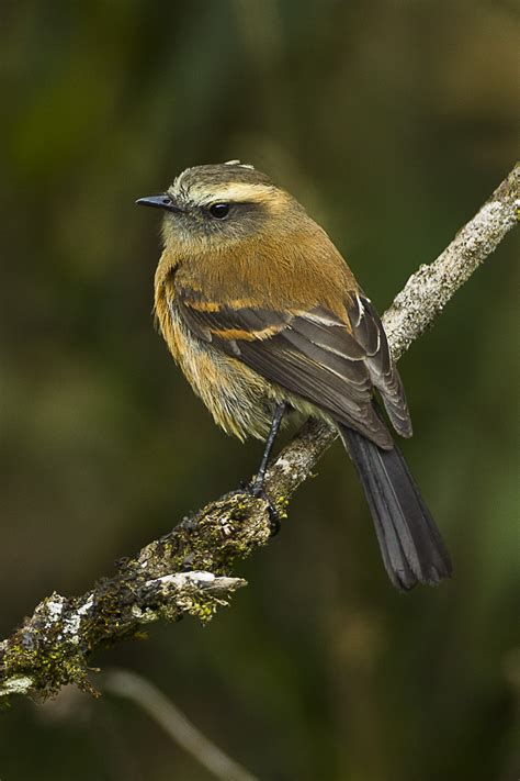 Brown-backed chat-tyrant - Wikipedia